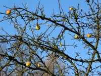 Jabłka na Przeł. Tąpadła